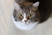 Close up handsome grey tabby british shorthair cat is looking at lens with yellow mesmerizing attentive eyes.