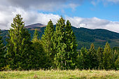 spruce trees on the meadow in mountains