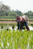 Traditional Method of Rice Planting.Rice farmers divide young rice plants and replant in flooded rice fields in south east asia.
