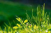 tall green grass close up.