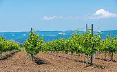 Rows of Young vineyard on a sunny spring day. Young plantation of a well-groomed vineyard at the beginning of flowering Copy space. Modern Wine making concept