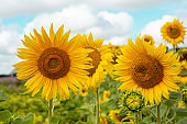 Sunflowers in country side on cloudy sky.
