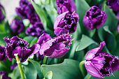 bunch of tulip flowers close up for background, flowerbed untypical macro, many petails bright colored