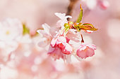 Pink Cherry blossom branch in bloom. Spring concept. Copy space.