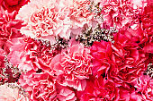 Beautiful red carnation flowers background. Red and pink flowers. Top view