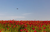 Drone flying over a blooming poppy field