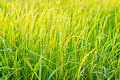 Rice plants that are growing and are producing grains during the harvest season.