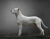 White Argentine dogo in profile with gray background