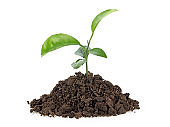 Small growing green plant with dark brown soil, white background.