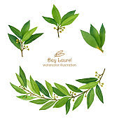 Laurel Bay leaves watercolor illustration