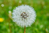 Beautiful fluffy dandelion with rain drops and seeds against the green grass