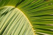Close-up plant background, texture, green leaf of palm tree