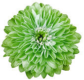 chrysanthemum flower   green   isolated on a white background. No shadows with clipping path. Close-up. Nature.