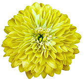 chrysanthemum flower  yellow  isolated on a white background. No shadows with clipping path. Close-up. Nature.
