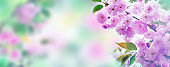 Cherry blossoms over nature background. Spring flowers. Spring Background with bokeh.