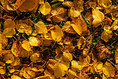 Autumn season, the lawn covered with yellow and orange colored leaves
