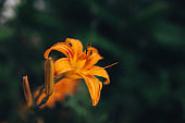 Orange flower on dark tropical nature background. Blurred focus.