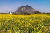 Jeju Island South Korea, nature landscape of canola field at Jeju Do Sanbangsan