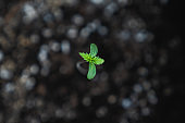 Newly sprouted marijuana seedling
