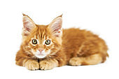 Red maine coon kitten, isolated