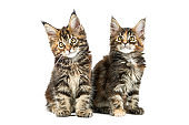 Two Maine coon kittens, isolated