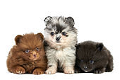 Three Pomeranian Spitz puppies isolated