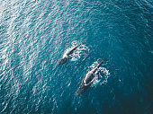 Aerial view of several humpback whales diving in the ocean with blue water and blow. Showing white fin in atlantic ocean. Photo taken in Greenland Disko bay island.