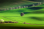 Spring rural nature landscape with lonely tree on green wavy rolling hills. Amazing sunset evening light.