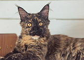 Beautiful fluffy multi colored black maine coon kitten looking curios yellow eyes. Closeup