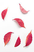 pattern of red autumn leaves on a white background. simple flat layout, top view, vertical frame