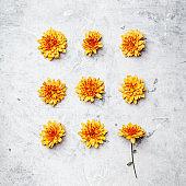 Orange Chrysanthemum on grey stone background, square composition