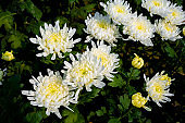 Bunch of blooming white chrysanthemum flower with buds in a garden with green leaves on background.