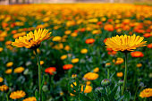 Blooming orange-yellow chrysanthemum flowers over In Field. Flowers with green leaves in the garden, nature background
