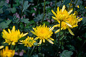 Yellow chrysanthemums, beautiful yellow flowers growing in the winter garden. Close-up and top views shot.