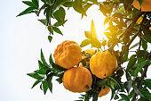 Delicious ripe oranges in the plantation in autumn