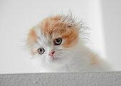 Scottish Fold Little Cat