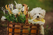 Maltese puppy in the rattan basket with flowe