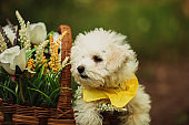 Maltese puppy in the rattan basket with flowers