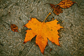Tree leaf falling on the ground after the storm