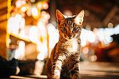 Beautiful Tabby Kitten Looking At Camera