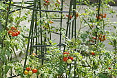 Grow cherry tomatoes in the kitchen garden