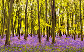 Sunlight shines through trees in bluebell woods