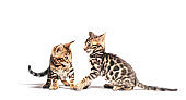 Two Bengal cats playing together, isolated on white