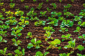 Young cabbage sprouts on the field in rows.