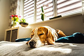 Beagle dog tired sleeps on a couch in bright room. Sun lights through window