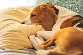 Beagle dog tired sleeps on a cozy sofa, on cushion