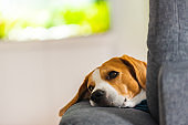 Beagle dog tired sleeps on a cozy sofa in funny position.