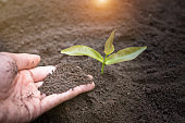 Soil in the hands of a young woman Seedlings that grow from fertile soil. And there is a shoveling ground near. Concept of environmental conservation Complete. Planting trees to reduce global warming.
