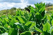 Tobacco plantation blossoming in Cuba