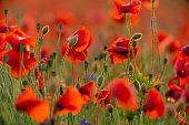 Poppy flowers field at sunset or sunrise